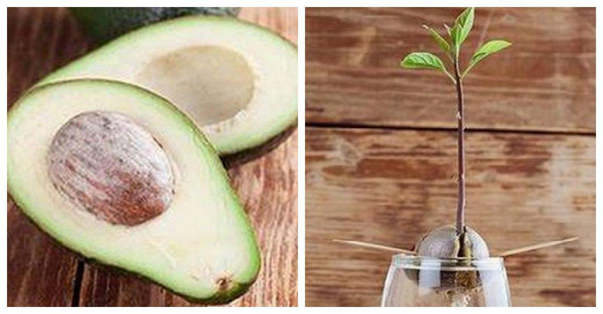 Cultiva un hermoso aguacate usando solo un vaso y cuatro for Como cultivar aguacate
