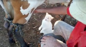 Gato toma leche al pie de la vaca Portada