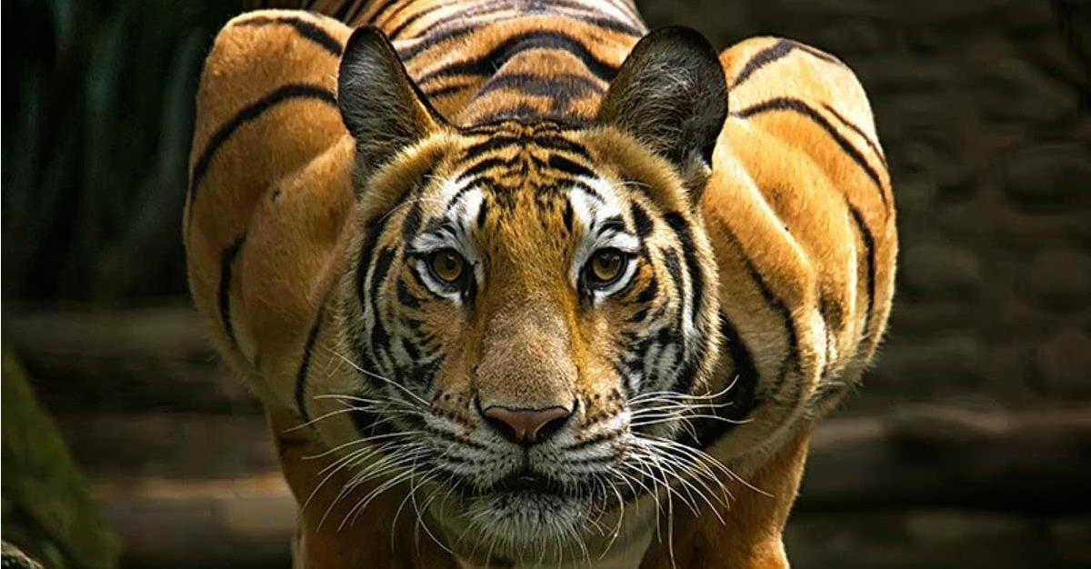 30 Fotografías Te Demuestran Por Qué El Tigre Es Una