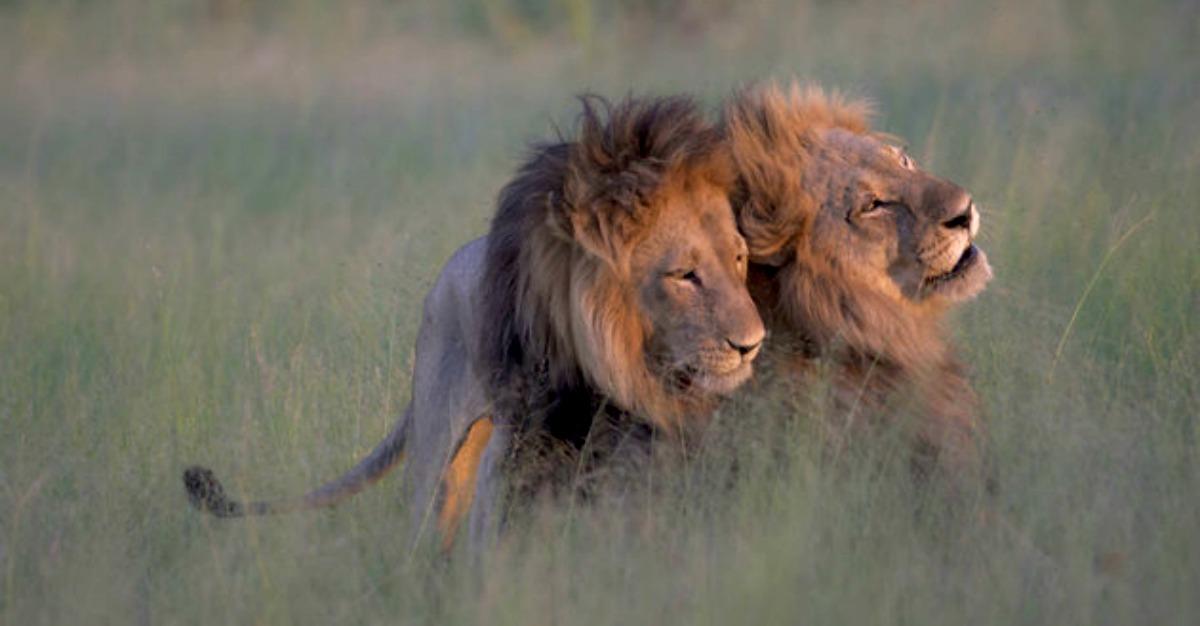 Fot grafo sorprende a dos leones machos en inusual conducta de apareamiento tronya - Leones apareamiento ...