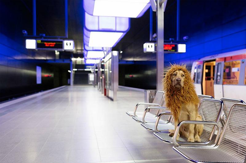Perro se convierte en leon 12