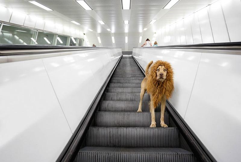 Perro se convierte en leon 5