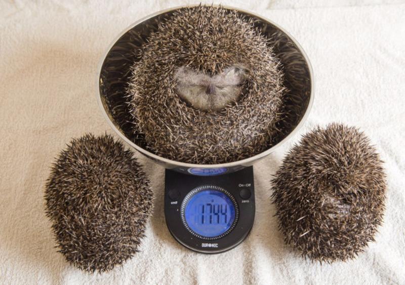 Erizo obeso foto 4