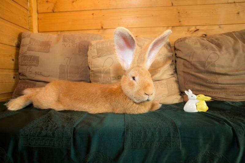 Conejo gigante encuentra hogar foto 1