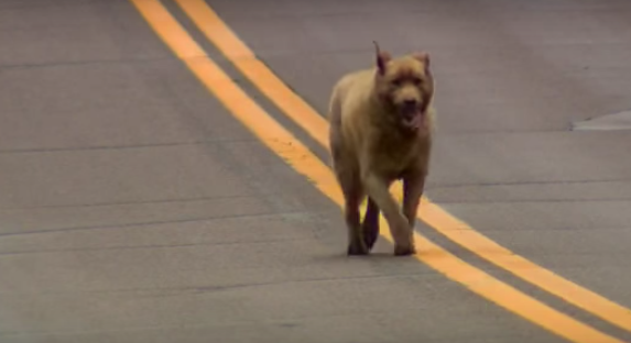 Perro camina siete kilometros 1